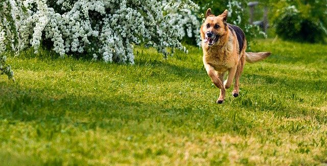 Almanya'da köpekler koronavirüsünü koklayarak tespit edecek